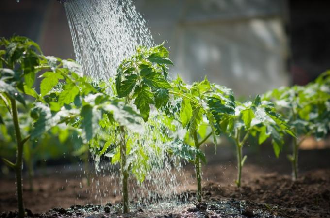 Главное, что нужно запомнить садоводу, так это следить за правильным поливом помидоров и своевременным проветриванием самой теплицы