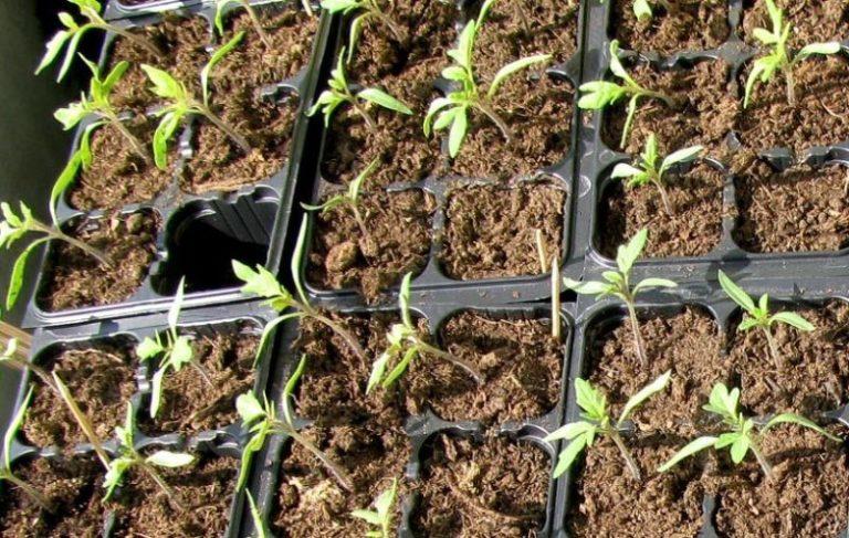 Особых правил ухода за данным сортом овоща не существует: делается все то, что обычно и положено при выращивании любых томатов