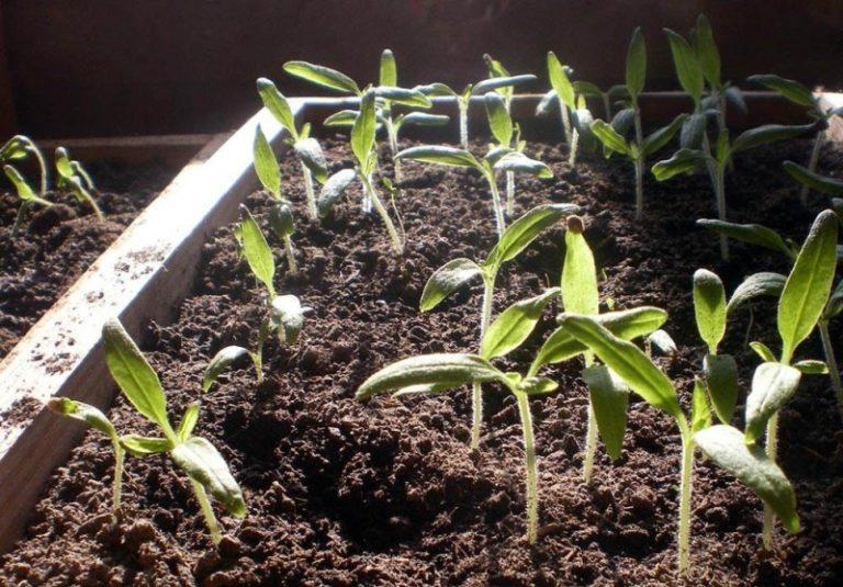 Пикировать рассаду следует после появления у ростков третьего настоящего листа