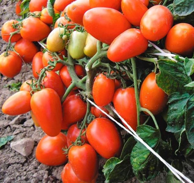 Выбирая для посадки на своем участке помидоры сорта Новичок, каждый огородник обязательно получит хороший урожай вкусных и полезных томатов