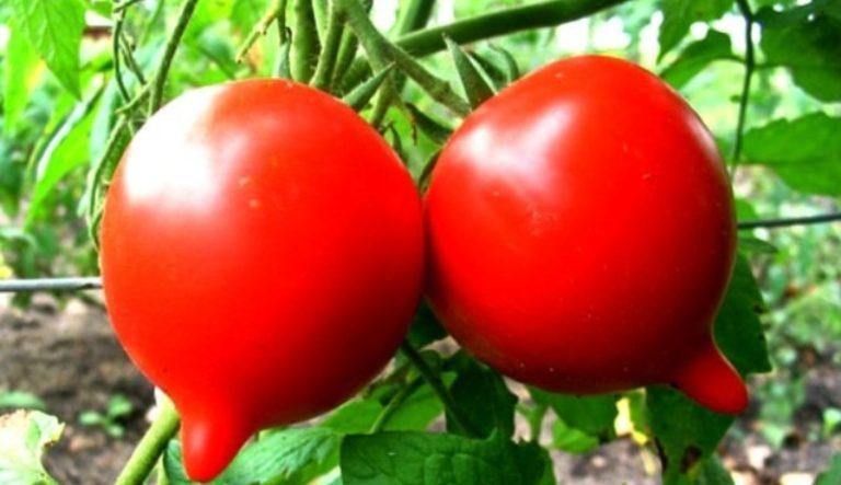 Вес помидоров в спелом виде достигает 200 г.