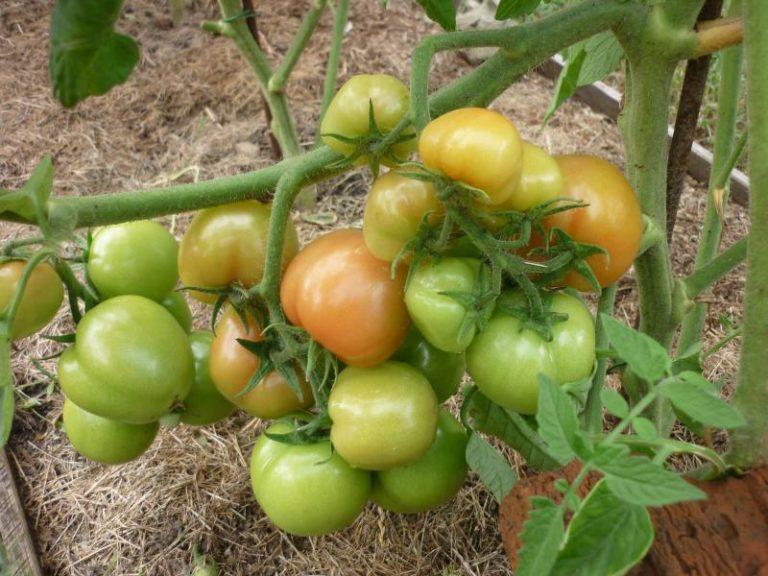 Если сорт Санька высадить в открытый грунт, плоды будут не более 100 г