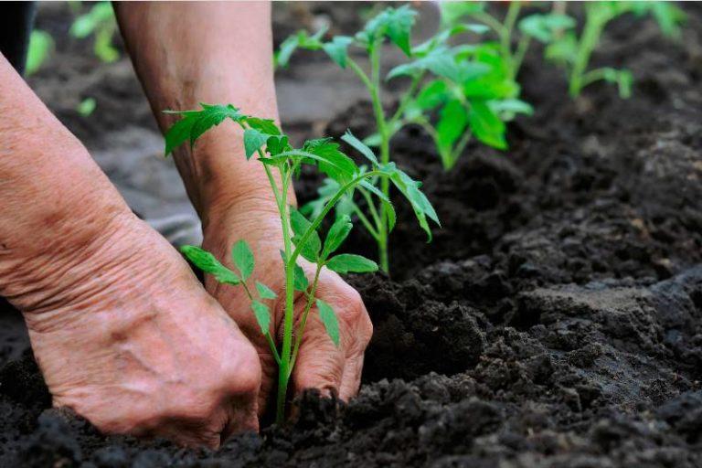 Если ночью еще бывают заморозки, нужно забирать рассаду назад. После того как погода окончательно установится, можно пересаживать томаты в грунт либо на грядку в теплицу