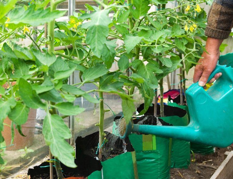 Важно следить за тем, чтобы томаты не переросли