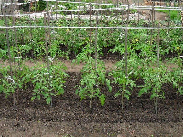 Особенности выращивания и ухода обусловлены во многом сортовой принадлежностью томата