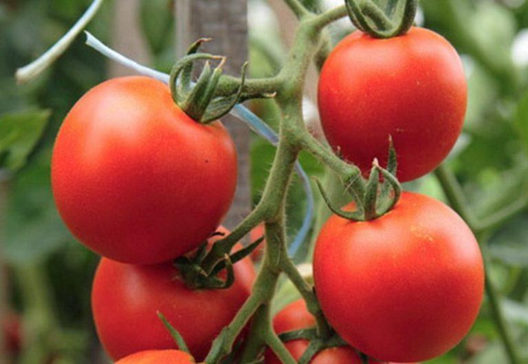 «Самара» отличается неограниченным ростом, крупными и сочными плодами