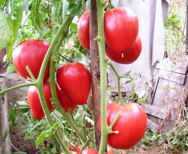 «Чудо земли» — это томат, который не имеет недостатков и пользуется большой популярностью у огородников по всей стране