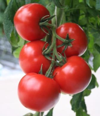 Настоящий огородник знает, что от выбора сорта зависит хороший урожай