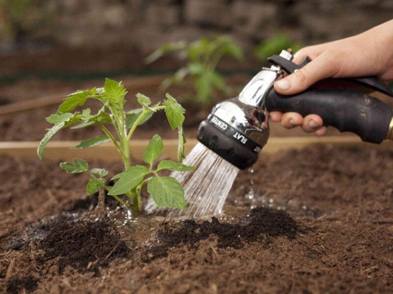 Особая роль в уходе за томатами отводится поливу