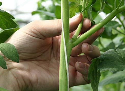 Уход за кустами помидоров также состоит в пасынковании