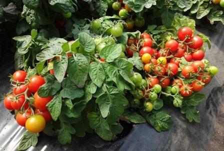 Сортовые помидоры для открытого грунта