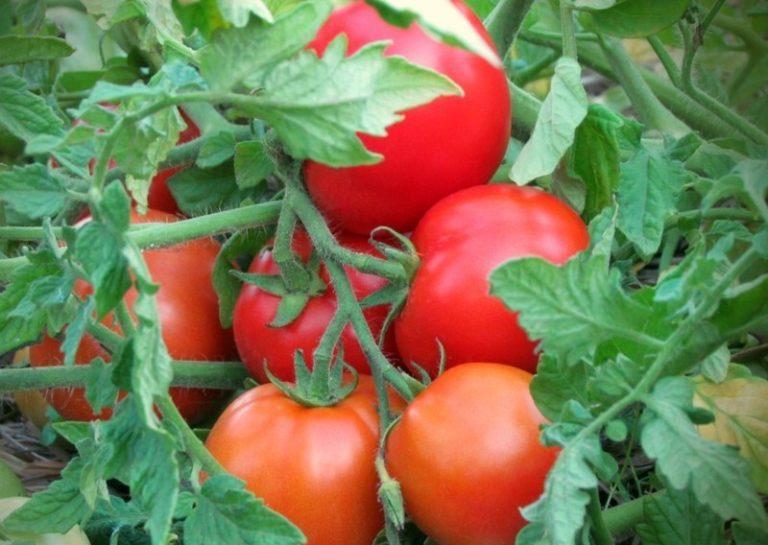 Раз в сезон можно опрыскать кустики водным раствором суперфосфата, это ускорит созревание помидоров
