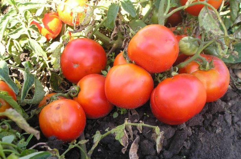 Выбираем помидоры: лучшие низкорослые сорта для открытого грунта