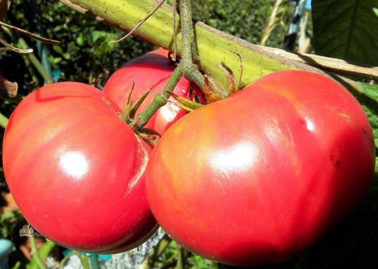На стволах высотой 180 см, а в открытом грунте они достигают 240 см, спеют плоды массой до 400-450 г, на кисти они вырастают разного размера