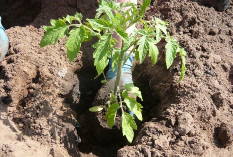 Лучшее место для посадки этих томатов - участки после моркови, бобовых, лука, огурцов либо капусты