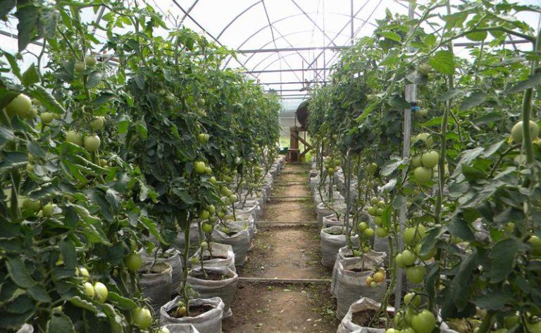 Выращивание томатов в теплице - это кропотливый труд, который требует много усилий