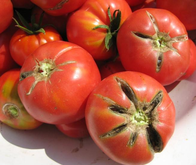 Причины растрескивания томатов бывают разные, но многое зависит от сорта помидоров
