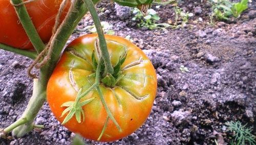 Нередко кожица томатов лопается, потому что помидорам не хватает питания