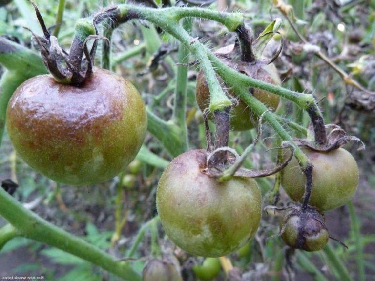 Фитофтора постепенно поражает стебли растений, а следом за ними чернеют и сами помидоры