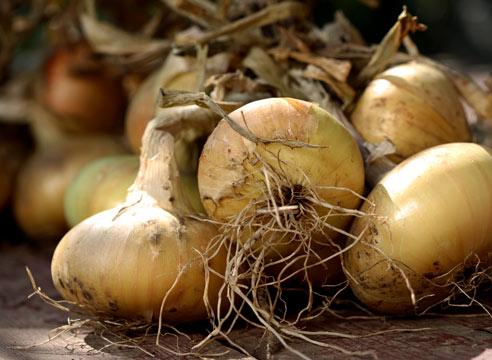 Сроки уборки этой культуры зависят от сорта растения, времени высадки луковиц в почву, температурного режима и полива
