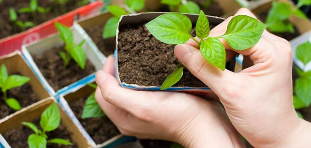 Начинать подкармливать перчик нужно с того момента, как на ростках появятся первые 2-3 настоящих листочка
