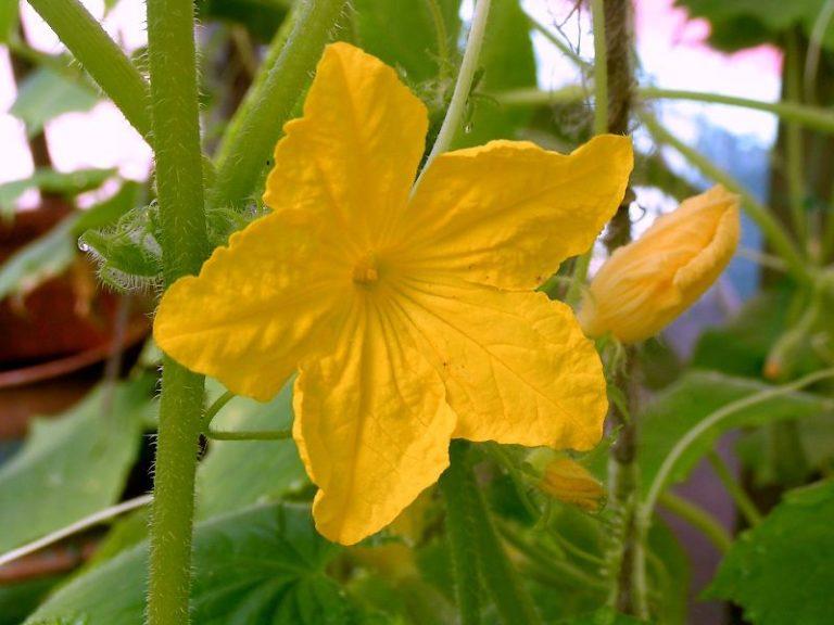 Подкармливать растение нужно в период начала цветения