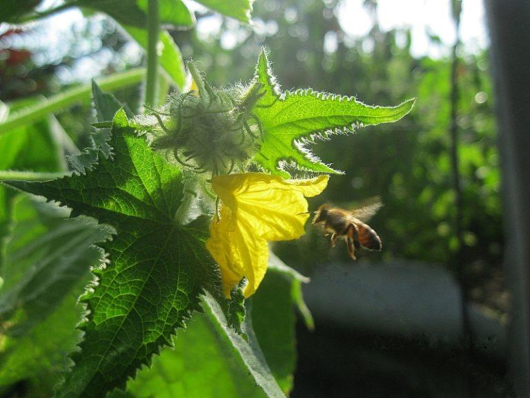 Чтобы привлечь насекомых, можно обратиться к медовой подкормке растения
