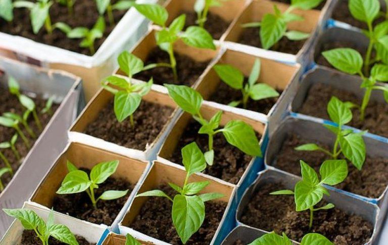 Посадка перца, как и многих других овощей, начинается с работы с рассадой