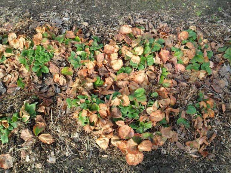 После того как растаял снег и земля немного подсохла, следует очистить кусты клубники от сухих листьев и убрать прочие растительные остатки