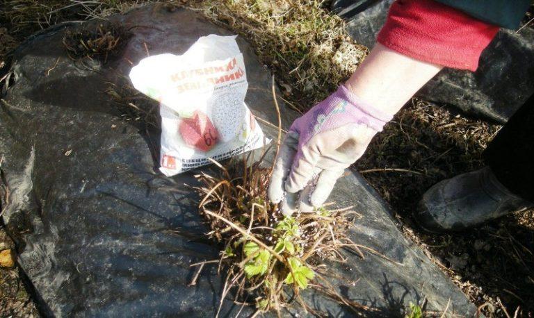 Под кусты клубники можно вносить минеральные и органические удобрения