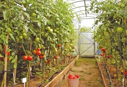 Для созревания томатам требуется правильное внесение подкормки