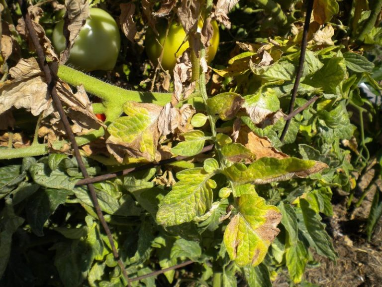 В августе при уходе за помидорами требуется защита от болезней (фитофтороз, фузариоз, стрик)