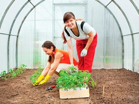 Уход за помидорами в теплице - дело приятное и интересное