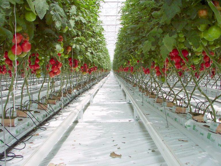 Важным условием для выращивания помидоров в теплице является правильный температурный режим и хорошее освещение
