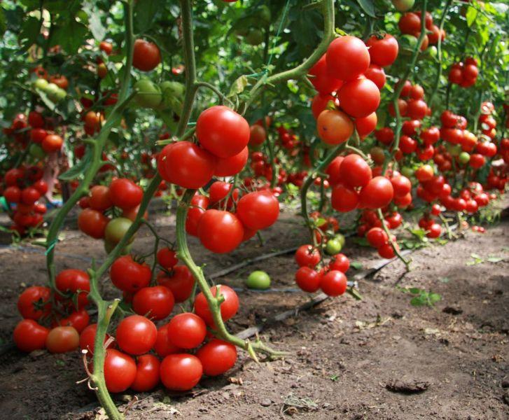 Каждый огородник хочет в результате иметь хороший урожай томатов