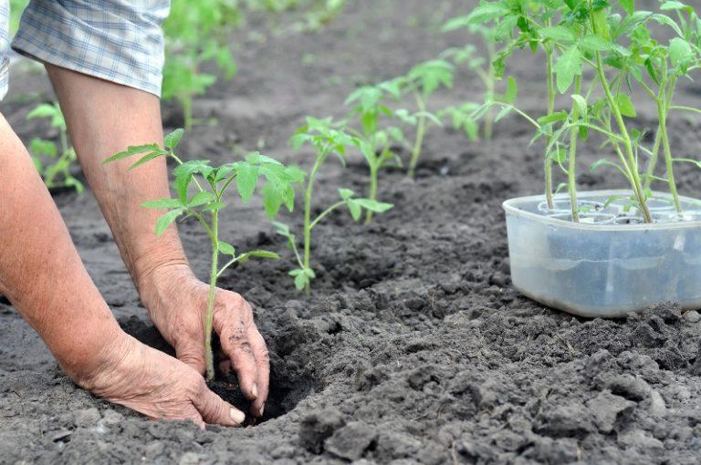 Корневище должно быть закрыто почвой до начальных листиков и не больше