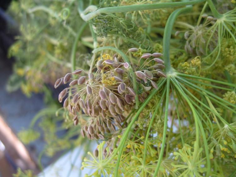 Кусты на сухих грунтах больше подходят для получения семян