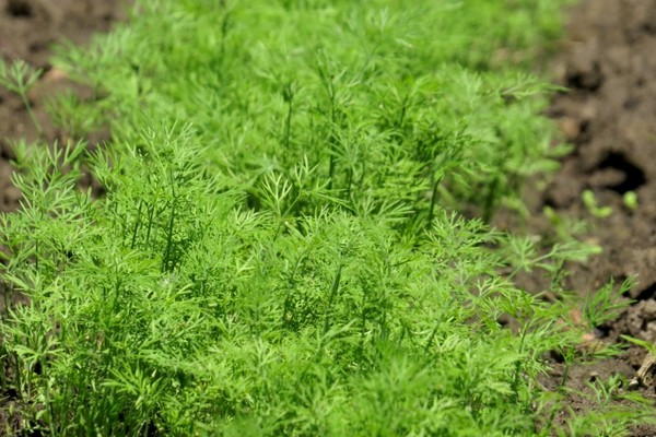 Производя выращивание укропа в теплице или открытом грунте, можно начинать сбор урожая уже через 30-40 дней после посадки