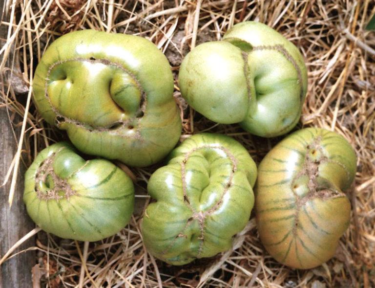 Уродливые помидоры, выросшие в теплице или в открытом грунте, называют еще фасциированными