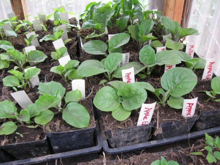 Если у баклажанов рассада будет подготовлена правильным образом, вероятность получения хорошего урожая велика
