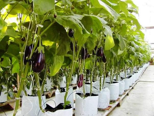 Выращивание баклажанов в теплице начинается с выбора подходящего сорта