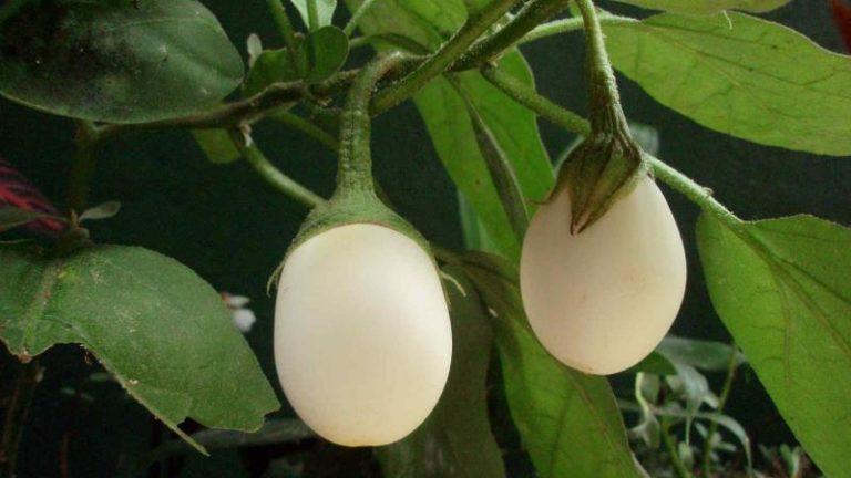 Хорошо для выращивания в теплице подходят и необычные белые сорта