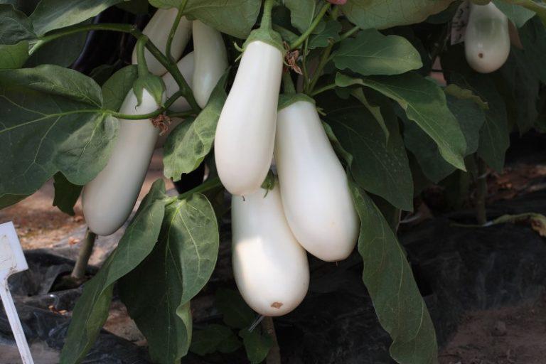 Для того чтобы растение хорошо развивалось, температура в теплице должна быть 25-28°