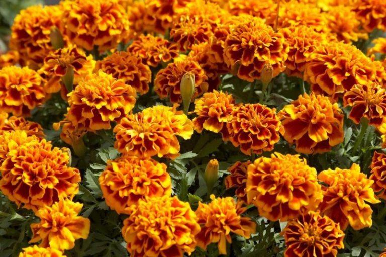 Цветы одинаково превосходно чувствуют себя и в дождливое, и в засушливое лето