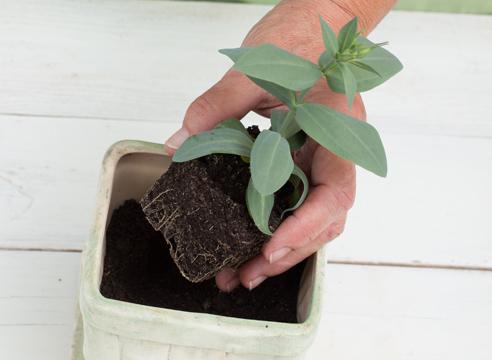 Пересаживать цветок нужно аккуратно, корневая система очень хрупкая