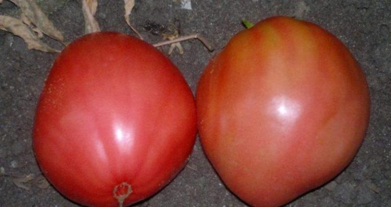 Этот сорт томата относится к северным, поэтому он будет давать хорошую урожайность и в холодных регионах