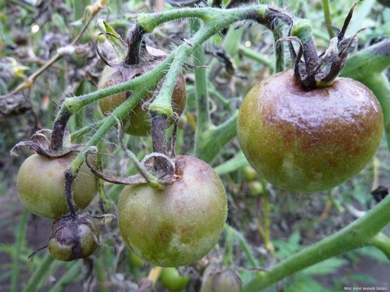 При перемене погоды в конце дачного сезона помидоры нередко поражаются фитофторой