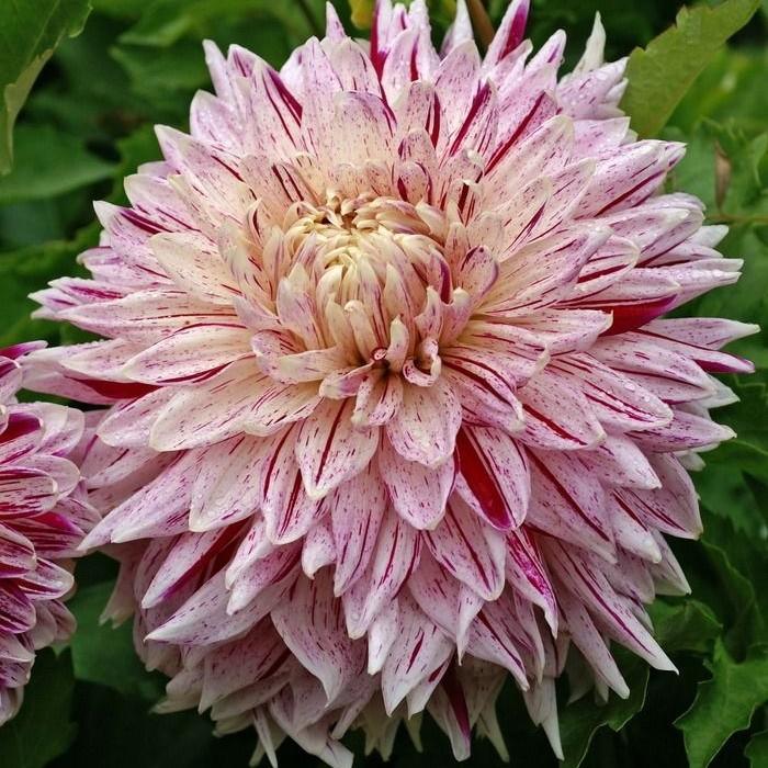 Георгин сорта авиньон относится к декоративным растениям с красивыми цветами