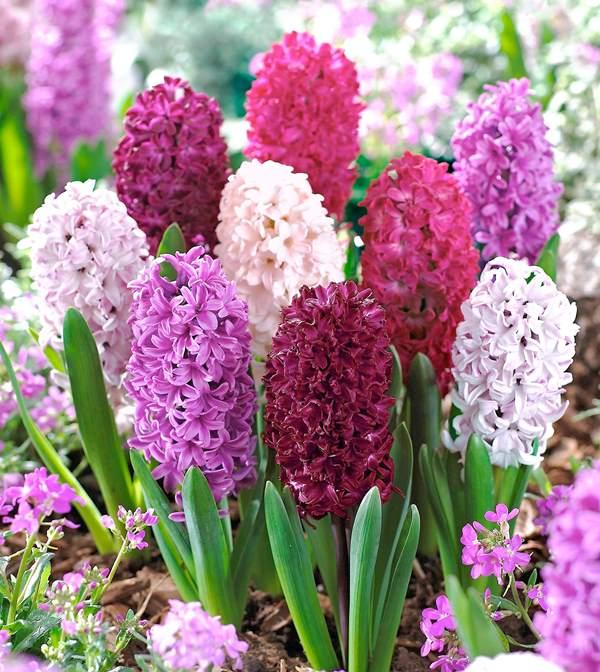 Уход за растением в основном состоит из своевременных поливов, рыхления земли и прополки травы