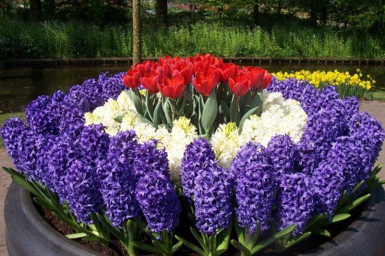 Сажать растение лучше всего осенью, потому что весной или летом семена могут не прорасти